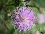 Violet Fluff
