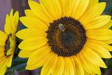126_2644 sunflower.jpg
