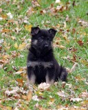German Shepherd Dog's