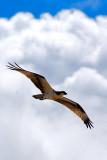 Osprey, Quintana Park, 25 Sep 07