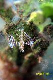 Baby Lionfish