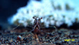 Commensal shrimp