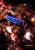 Phyllidiopsis striata