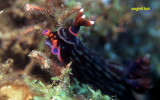 Nembrotha unknown