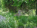 cheetah1356-4sm.JPG