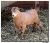 goat-2037-sm.JPG