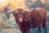 Brauma Bull?