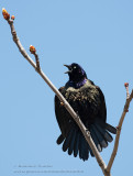 Quiscale Bronzé / Common Grackle