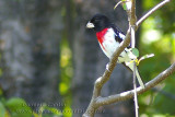 Cardinal à poitrine rose / Rose-breasted Grosbeak