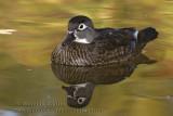 Canard Branchu ( fem ) / Wood Duck ( fem )