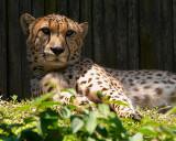 Cheeta 2007