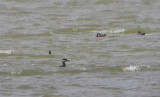 Red-necked Grebe - AR