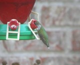 Ruby-throated Hummingbird at feeder (for size comparison)
