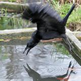 The carrion crow which think it is a grey heron - La corneille qui se prend pour un héron