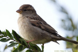 Immature Eurasian Tree Sparrow - Moineau friquet juvénile