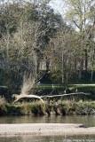 Hérons le long de la Loire - Grey herons along the Loire