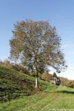 Noyer le long du canal - Walnut tree along the canal