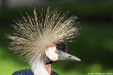 Grey crowned crane - Grue couronnée