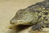 Nile crocodile - Crocodile du Nil