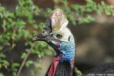 Casoar à casque - Double Wattled Casowary