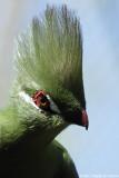 Guinea Turaco - Touraco vert
