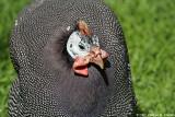 Guinea-fowl - Pintade commune