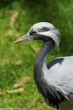Demoiselle crane - Grue demoiselle