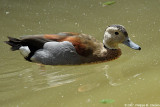 Ringed teal - Sarcelle à collier