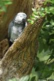 Grey Parrot - Perroquet gris