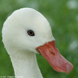 Coscoroba swan - Cygne coscoroba
