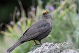 Female Blackbird - Merlette