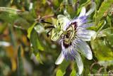 Passiflora - Fleur de la passion