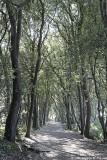 Allée de chênes verts - Holm oak's path