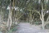 Allée de chênes verts
