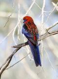 parrots_rozellas_cockatoos