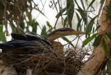 Nesting Darter