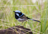 fairy_wrens_and_finches