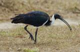ibis_and_spoonbills