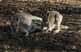 Whiptail Wallaby and Joey