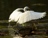 egrets_and_herons