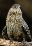 Pheasant Coucal (Female)