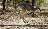 Whiptail Wallaby - caught midhop!