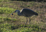 Grey Heron with catch ( mouse )