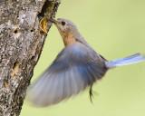 blue_birds_