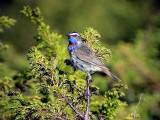Blåhake Bluethroat Luscinia svecica