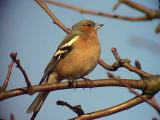Bofink Chaffinch Fringilla coelebs