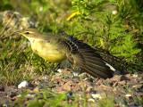 Gulärla Yellow wagtail Motacilla flava