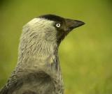 Kaja Jackdaw Corvus monedula