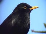 Koltrast Blackbird Turdus merula