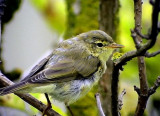 Lövsångare Phylloscopus trochilus Willow Warbler